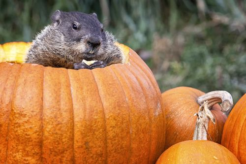Woodchuck-and-pumpkin