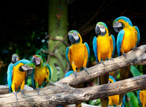 Macaws-sitting-in-tree
